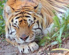 Cool Sleeping Tiger.