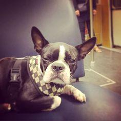 ...tired in the Subway .... #bostonterrier  #dogsofinstagram #dogs #hunde #dottiethebostie #tired #subway