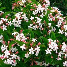 Abelia mosanensis, un abelia de collection Ce superbe Abelia peut etre considéré comme une variété de collection. Peu présent dans nos jardins,l'Abelia mosanensismérite pourtant une place de choix. Le feuillage semi-persistant comporte des feuilles ovales, opposées et vertes foncées. Sa floraison est divinement parfumée. C'est un subtile mélange de parfum de lilas, jacinthe et de jasmin. Les fleurs s'épanouissent blanches, en fin de printemps, à partir de boutons roses décoratif...