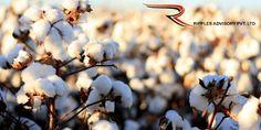 Ripples Commodity Blog: Cotton News - Ripples Advisory Pvt Ltd