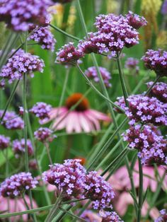 Teddington gardener - verbena and magnus