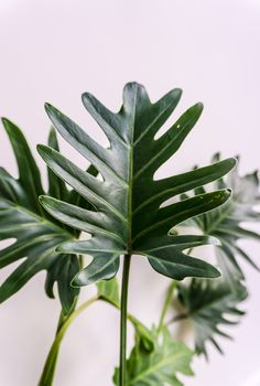 Add some latin flare to your home with the Philodendron xanadu. Native to Brazil this Araceae dances with tropical delight. Tropical Garden, Tropical Plants, Tropical Leaves, Plant Art, Plant Decor, Theme Nature, Belle Plante, Plants Are Friends, Tropical Flowers