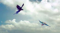 Bluey chasing Max! #hyacinthmacaw #parrots #macaws #loro #guacamaya #papagaio #papegøje #papegaai #papagei #pappagalli #papuga #Попугаи #papağan #鸚鵡  #affinityflight #parrot #macaw #guacamayo #arara #perroquet #papagaj #pappagallo #papegøye #Попугай #papegoja #ببغاء #オウム#앵무새 #طوطی #greenwingmacaw #flyingparrots #freeflyingparrots