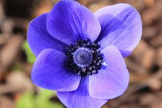 anemone flower {aka grecian windflower} - for west bank Autumn planting