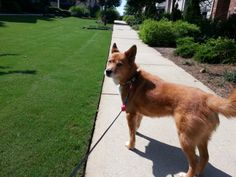This is Callie. She enjoys the walks around her neighborhood Some Pictures, Walks, The Neighbourhood, Corgi, Pets, Animals, The Neighborhood, Corgis, Animales