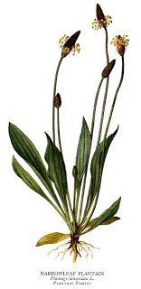 Plantago lanceolata - lándzsás útifű