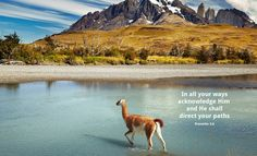 2013-07-16_Guanaco_crossing_river_Chile