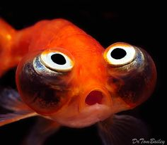 Celestial eye goldfish or Choten gan is a double-tailed breed of fancy goldfish that has a breed-defining pair of telescope eyes which are turned upwards, pupils gazing skyward. When the fry hatch, the eyes of young Celestials are normal but gradually protrude sideways, as in the Telescope eye goldfish, and then turn upwards within a period of six months.