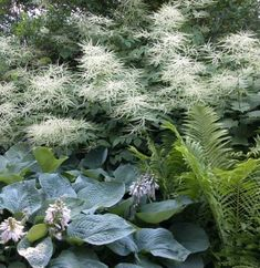 Shade garden displaying Goat's Beard (up to 6ft tall) in back, Ostrich Fern (3-5ft tall) and a larger Hosta in front.