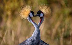 Grey crowned cranes forming a heart Fast Crazy Nature Deals.