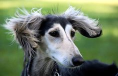 (Gazelle Hound, Arabian Hound, Persian Greyhound, Tanji, Persian Sighthound)The Saluki is a rather unique looking breed.   ****Love Salukis****  ~T