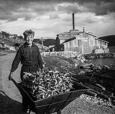 Kuivattuja kaloja kottikärryillä työntävä poika. / A boy pushes a wheelbarrow full of dried fish. - 1930-luku / 1930's Liinahamari, Petsamo, Suomi Finland