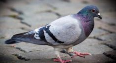 Stop the unbearable suffering inflicted to pigeons by the ISITI University of Toulon!
