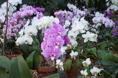 Top 10 Orchids for the Home: #1 Phalaenopsis - This is the easiest orchid to grow in the home. It blooms in winter with long flower spikes containing many spectacular blooms that last for months. The flowers may be white, purple, pink, salmon or yellow; some are speckled and blotched in interesting patterns.