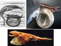 The Black Swallower is a rarely seen deep sea fish found at a depth of 2,300-9,000 ft . This fish is known for its ability to swallow a fish up to THREE times its size! It accomplishes this by using its highly stretchable jaw and stomach. The Black Swallower will grab its prey from behind by the tail and then coil it into its stomach where it will be slowly digested. It also has sharp interlocking teeth which keep the prey from swimming away.