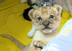A liliger - the offspring of a lion and a liger, which is a half lion, half tiger.