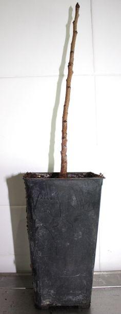 Plant avant forçage