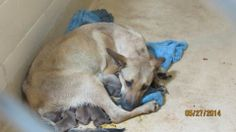 HELP NEEDED FOR MAMA AND BABIES! THEY SHOULD NOT BE IN THIS PLACE! Midland Animal Shelter, TEXAS. In Kennel 37. Female Shepherd mix  newborn puppies. (432) 685-7420. 1200 N Fairgrounds. Midland,Tx. FOSTER HELP NEEDED!  https://www.facebook.com/PetsAroundMidlandTx/photos/a.484678788313145.1073741850.151354858312208/590136024434087/?type=1theater