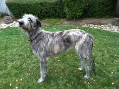 Jack ... Irish Wolfhound, 8 months