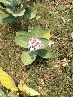 dusky purple wild flower that grows everywhere