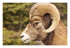 Bighorn sheep found in the road from Banff to Jasper, Alberta, Canada, April 2008 by Ignacio Palacios on 500px