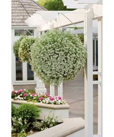 Snow Princess® - Sweet Alyssum - Lobularia hybrid Hope for Hanging Baskets Hanging Flower Baskets, Hanging Planters, Garden Planters, Fall Planters, Gnome Garden, Full Sun Container Plants, Container Gardening, Succulent Containers, Container Flowers