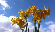 Wilted #daffodils #photography