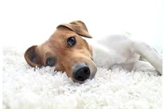 Jack Russell Terrier Fin  sooo lässt es sich leben ♥       Mehr lesen: http://d2l.in/68  dogs2love - Gassi gehen zum Verlieben. Partnerbörse für alle, die Hunde lieben.  Bild, Foto, Hund, Rasse