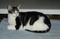 Bicolor Cat, Cats, Animals, Gatos, Animales, Animaux, Animal, Cat, Animais