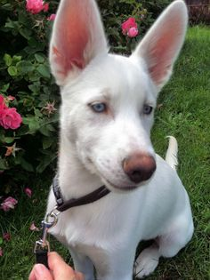 My daughter's White Siberian Husky - Kumori which means cloud in Japanese. He is now 5 months old and very hard to photograph :) Cloud In Japanese, White Siberian Husky, Arctic Wolf, 5 Month Olds, White Wolf, 5 Months, Wolves, French Bulldog, Funny Animals