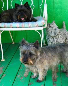 Reba and Trudy.....Cairn Terriers