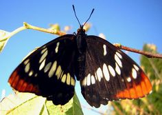Caterpillar, Bats, Idaho, Raising, Butterflies, Take That, Female, Youtube, Butterfly