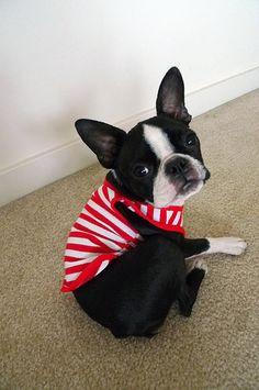 What a cutie! Cute Dogs And Puppies, Bulldog Puppies, Pet Dogs, Pets, Terrier Puppies, Lab Puppies, Doggies, Boston Terrior, Boston Terrier Love