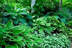 Funkia Hosta och vitplister Lamium marktäckande perenner i skugga Garden Gadgets, Natures Sunshine, House Landscape, White Gardens, Pergola Patio, Trees To Plant, Garden Inspiration, Perennials, Garden Design