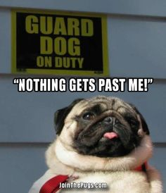 Guard Pug on Duty - Join the Pugs