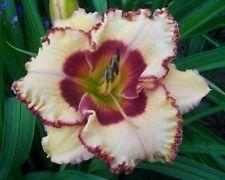DAYLILY PLANTS ~  TRIPLE CHERRIES ~ PETIT ~ 06 ~ DF