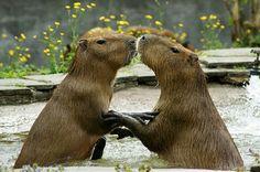 Capivara (capybara)
