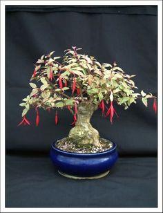 fuchsia bonsai   Bonsai Garden - Home Of Fuchsia Bonsai By Kath Van Hanegem