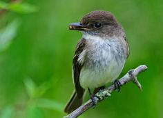 Eastern Phoebes love to nest near houses.  I've had them nest over the porch lights and under our carport, and I've rehabbed several of them.