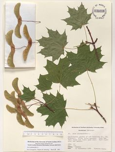 Acer_platanoides,Resources for Botanical Sketchbooks, , Resources for Art Students at CAPI::: Create Art Portfolio Ideas milliande.com, Art School Portfolio Work, ,  Botanical, Flowers, Plants, Leaves,Stem Seed, Sketching, Herbarium