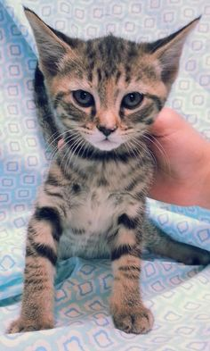 Meet Sky 22262, a Petfinder adoptable Domestic Short Hair Cat | Prattville, AL | Sky is an 8-week old, brown/black tabby, female kitten.Dogs and puppies may be adopted for a fee of...