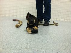 Leo the smart little German Shepherd pup combined two occupiers for class! How creative!!