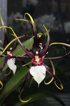 Orquídea...  Odontobrassia: Híbrido.