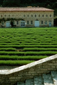 rows and rows of lavender !