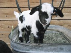 i don't know why but i am obsessed with mini-goats.  i just want to carry one around in my purse!