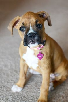 Seriously, how can you not want a boxer puppy??? They are the cutest, I just love them!!!
