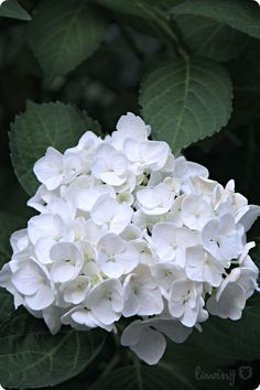 LÖwin.g: Hortensie - Hydrangea