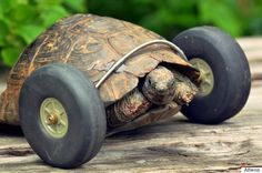 Tortoise On Wheels Makes The Best Of A Bad Situation