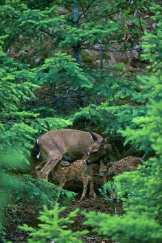 Mule deer with twin fawns, Siskiyou Mountains, Oregon, Copyright Mountain Light Photography - Galen Rowell