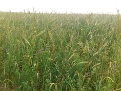 La ferme de Vanessa: Culture du blé dans un couvert vivant de luzerne Agriculture Biologique, Farm Gate